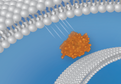 Protein Translocation Image
